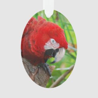 Macaw del escarlata con un pico agudo
