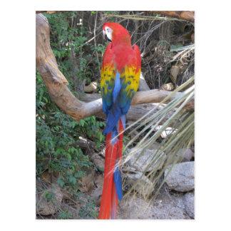 Macaw del escarlata - de la parte posterior postal