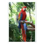 Macaw del escarlata, diseño rojo del photograp del comunicado personal