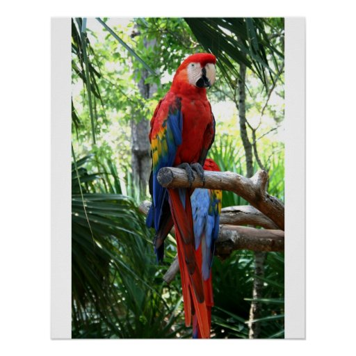 Macaw del escarlata, diseño rojo del photograp del poster