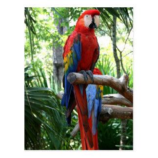 Macaw del escarlata, diseño rojo del photograp del postal