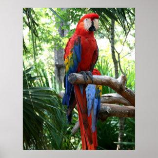 Macaw del escarlata, diseño rojo del photograp del póster