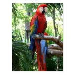 Macaw del escarlata, diseño rojo del photograp del postales