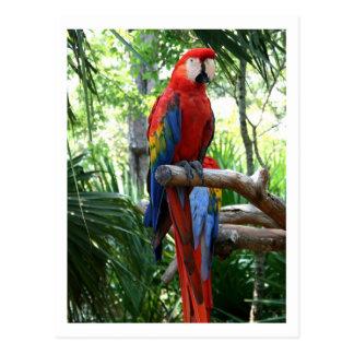 Macaw del escarlata, diseño rojo del photograp del tarjeta postal