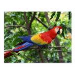 Macaw del escarlata en el miembro de árbol postal