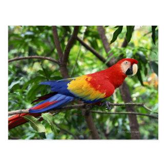 Macaw del escarlata en el miembro de árbol tarjetas postales