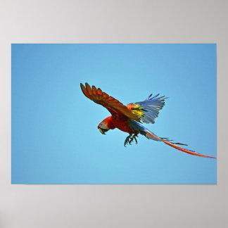 Macaw del escarlata en vuelo poster