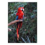 Macaw del escarlata felicitación