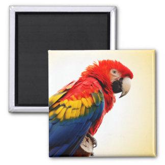 Macaw del escarlata imán cuadrado