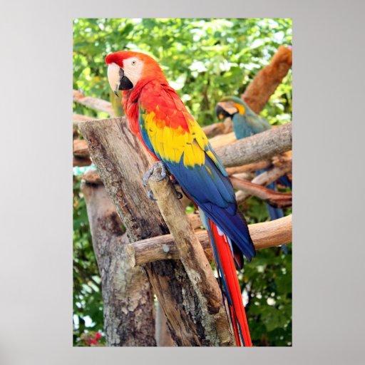 Macaw del escarlata impresiones
