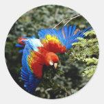 Macaw del escarlata pegatina redonda