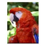 Macaw del escarlata postal