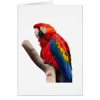macaw del escarlata que espera mi llove tarjetón