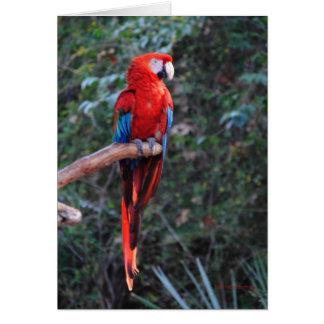 Macaw del escarlata tarjeta de felicitación
