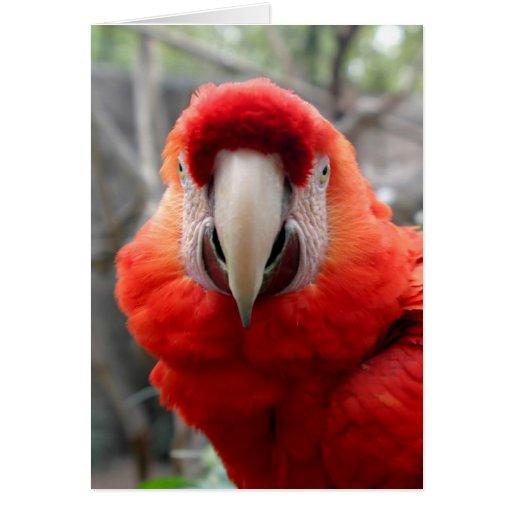 Macaw del escarlata tarjeton