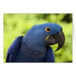 Macaw del jacinto felicitación