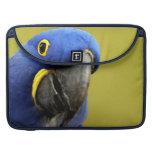 Macaw del jacinto fundas para macbook pro