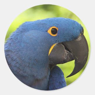 Macaw del jacinto pegatina redonda