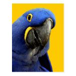 Macaw del jacinto postal
