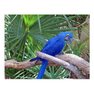 Macaw del jacinto postales