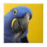 Macaw del jacinto teja cerámica