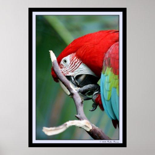 Macaw Impresiones