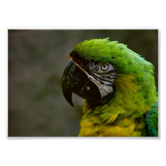 Macaw Parrot Photo Poster