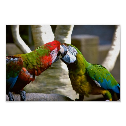 Macaw Parrots Kissing Poster