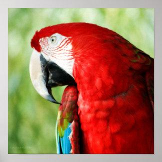 Macaw Portrait Poster