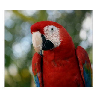 Macaw rojo impresiones