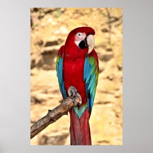 Macaw rojo y verde póster