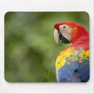 Macaw salvaje del escarlata, selva tropical, Costa Tapetes De Ratones