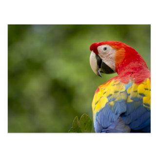 Macaw salvaje del escarlata, selva tropical, Costa Tarjeta Postal