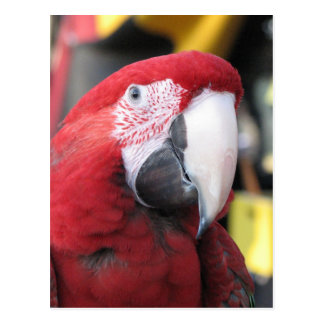 Macaw vertical postcard