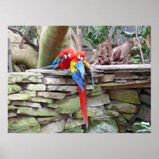 Macaws del escarlata posters