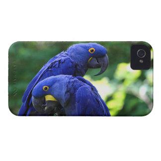 Macaws del jacinto iPhone 4 Case-Mate cárcasa