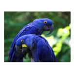Macaws del jacinto postales