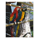 Macaws in Key West Photo