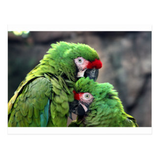 Macaws in Love Post Cards