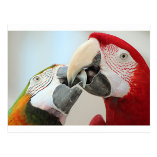 macaws kiss postcard