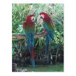 Macaws Postcard