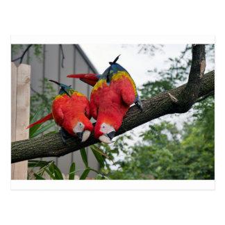 Macaws rojos 1.JPG Postales