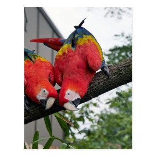 Macaws rojos 1.JPG Tarjeta Postal