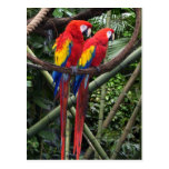 macaws rojos tarjeta postal