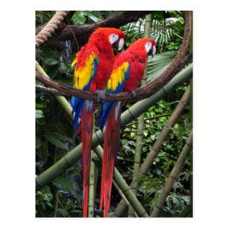 macaws rojos postales