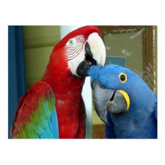 Macaws rojos y azules coloridos tarjetas postales
