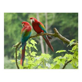 Macaws Verde-cons alas Postales