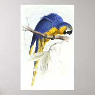 Maccaw azul y amarillo de Edward Lear Póster