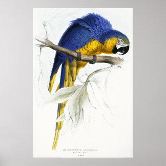 Maccaw azul y amarillo póster