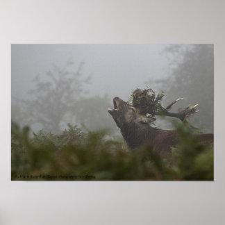 Macho del ciervo común, parque espeso, Inglaterra Poster